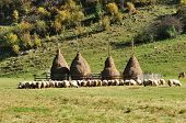 pic of haystack  - Flock of sheep and haystacks at autumn