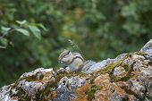 pic of chipmunks  - Chipmunk in the wood among stones - JPG