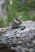 picture of chipmunks  - Chipmunk in the wood among stones - JPG