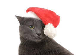 image of sad christmas  - Funny Gray Cat Santa  - JPG
