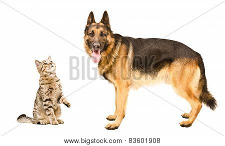 German Shepherd dog and cat Scottish Straight