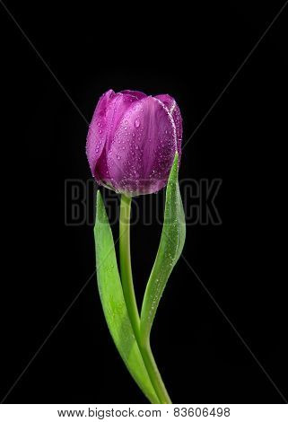 Single Purple Tulip Flower With Water Drops On A Black Background