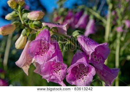 Foxglove flower macro
