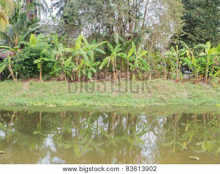 Banana Tree Near By The River