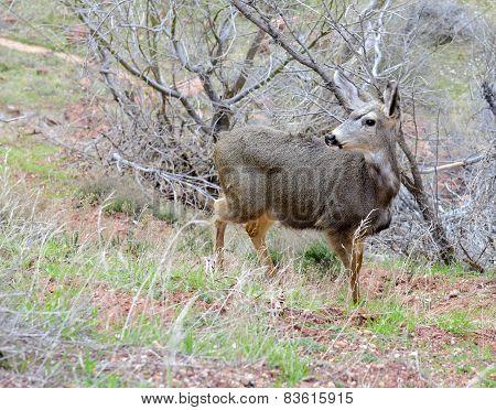 Mule deer in the mountains