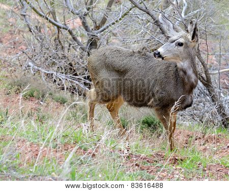 Mule deer in meadow