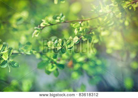 Budding leaves - Fresh spring leaves