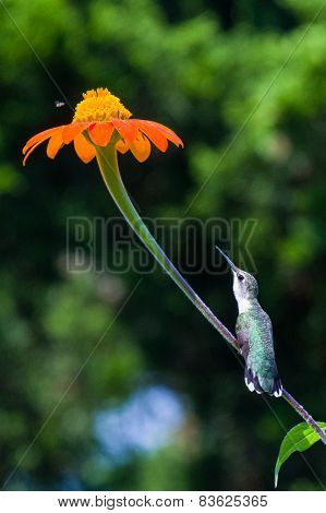 longing stem hummingbird