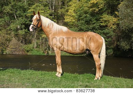 Beautiful Amazing Palomino Warmblood With Blond Hair