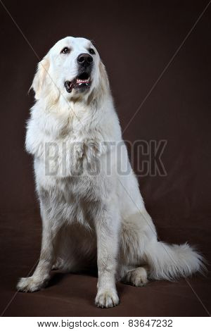 Golden Retriever Sitting In Front