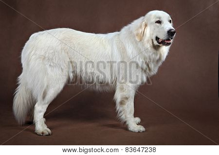 Golden Retriever Standing, Side View.