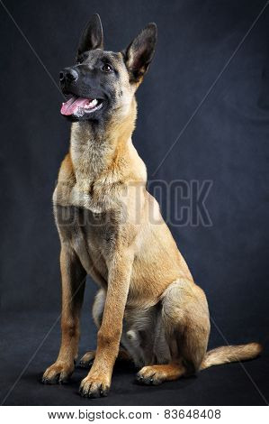 Malinois Belgian Shepherd Dog, Studio Shot Isolated On Grey Background.