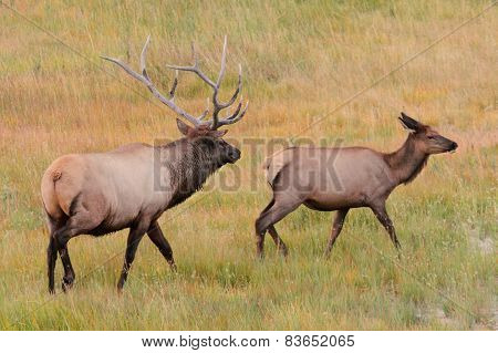 Pair Of Elk In Yellowstone