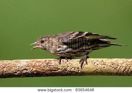 Pine Siskin (carduelis Pinus) Perched