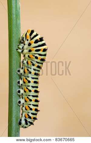 worm Papilio Machaon butterfly on branch. vertical format