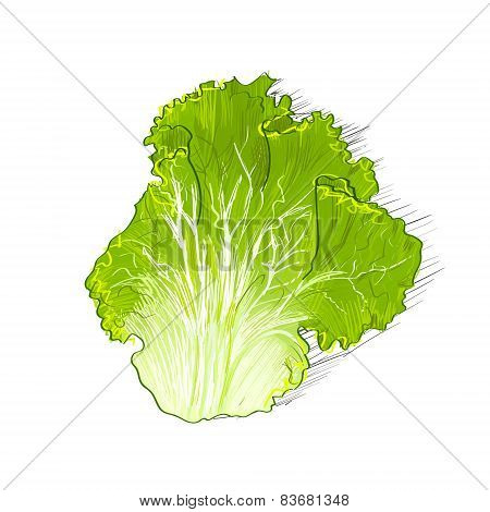 green salad leave color sketch draw isolated over white background