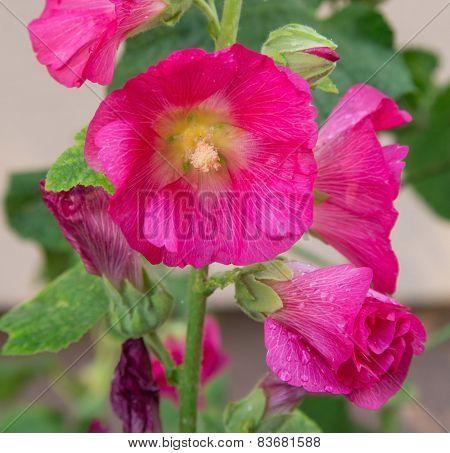 Decorative Flower Mallow
