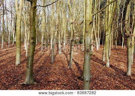 Beech Trees.
