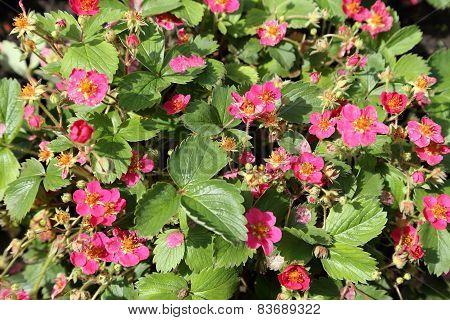Flowering Strawberry