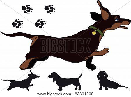 Run dachshund
