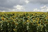 picture of heliotrope  - a cultivated flowering sunflower field - JPG