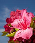 stock photo of azalea  - Bright pink azalea bloom on the bush with sky behind - JPG