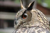 stock photo of owl eyes  - An owl keeps eye out for prey - JPG