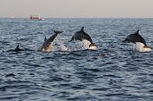 pic of dolphins  - Dolphin watching at Lovina beach in Bali Indonesia - JPG