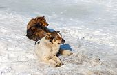 stock photo of stray dog  - Stray dogs resting on the snow in winter day - JPG