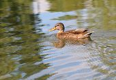 picture of duck-hunting  - Portrait of a females of duck on the water - JPG