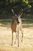 stock photo of blacktail  - young blacktail buck caught with mouth open as he was calling out - JPG