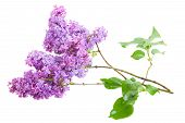 pic of lilac bush  - Brunch of lilac flowers isolated on white background - JPG