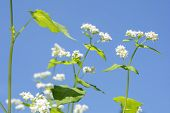 stock photo of fall-wheat  - Close up white buck wheat flowers under blue sky - JPG