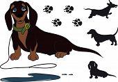 foto of peeing  - funny shorthair dachshund sitting - JPG
