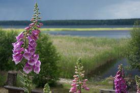 stock photo of digitalis  - Foxglove common foxglove purple foxglove or Digitalis purpurea flower macro with lake view around Midsummer Varmland Sweden - JPG