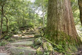 picture of stairway  - Longevity japanese cedar tree and stone stairway - JPG