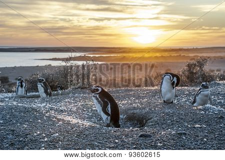 Magellanic Penguins, Very Early Patagonian Golden Morning