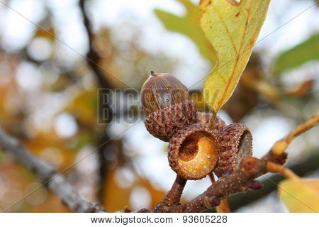 Acorn on a tree