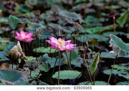 Pink lotus pond Central.