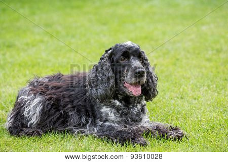 Outdoor Portrait Of Lying English Cocker Spaniel