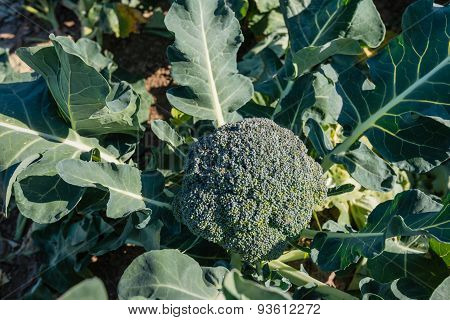 Ripe Broccoli Plant  From Above