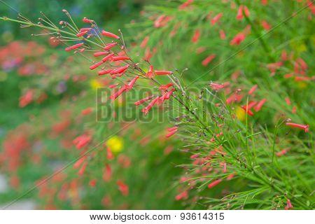 Russelia Equisetiformis Or Firecracker Plant Flower In Garden.