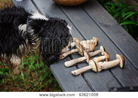 spaniel dog smells wild edible mushrooms
