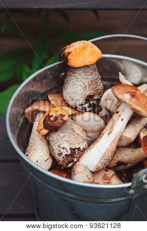 wild edible orange and brown cap boletus mushrooms gathered in can