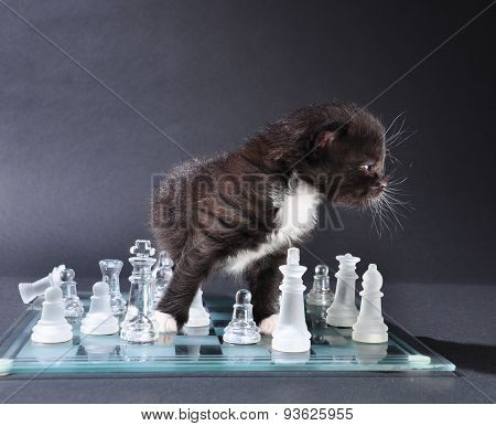 Young Cat On Chassboard
