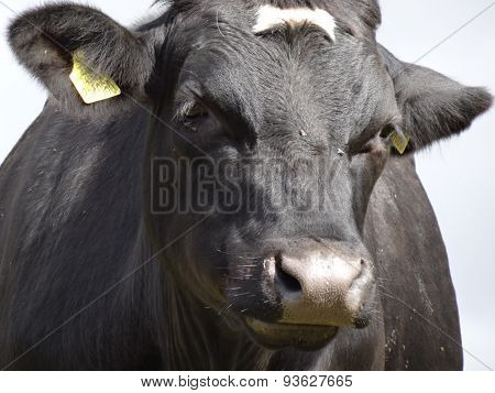 Aberdeen Angus cattle