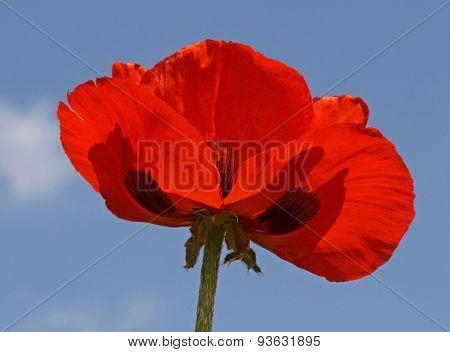 Red Poppy Over Blue Sky
