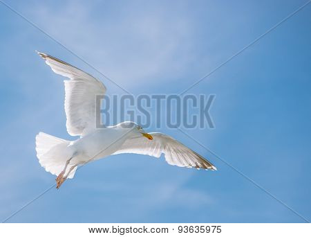 Seagull flying high in summer blue sky