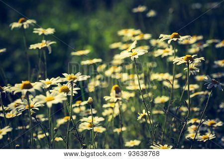 Vintage Photo Of Camomile Flowers.