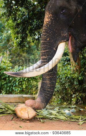 Close-up of eating elephant, Asian elephants